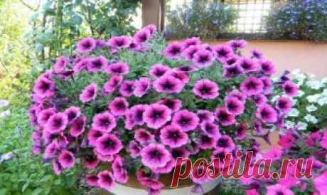 Правильная прищипка петуньи для обильного цветения Петуния— неприхотливое растение, которое долгое время радует садоводов прекрасными и яркими цветами.      Чтобы кустик стал по-настоящему пышным и объёмным, его нужно время от времени прищипывать, и …