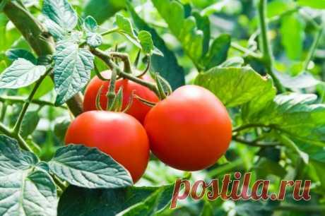Как спасти помидоры, если кусты заболели фитофторой? запомните на всякий случай! — Садоводка