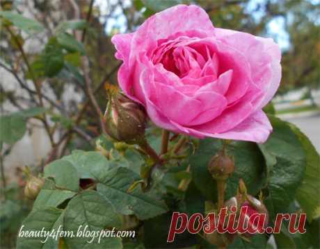 Косметический отвар из роз для сухой кожи головы. Народный рецепт косметики из розы эфирно-масличной.