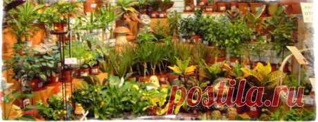 Суеверия и приметы о комнатных цветах – драцена, кактусы и другие