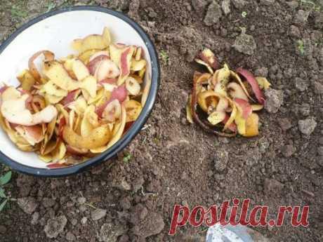 Картофель – всему голова! Картофельные очистки как удобрение и подкормка для растений. Дачные советы огородникам!