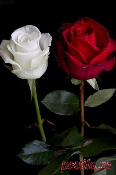 60 different colors of roses. Enjoy lovely rose flowers collection. - Our World Stuff
