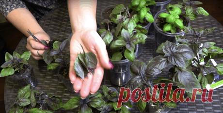 Необычный способ выращивания базилика. Можно получить целые заросли. — 1001 СОВЕТ