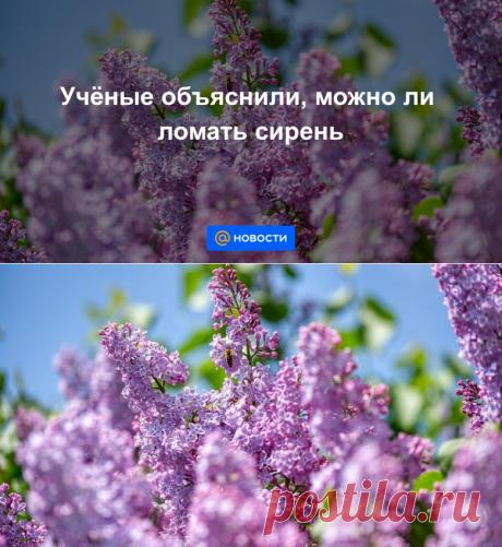 ШТРАФ ОТ 500 ДО 5000 РУБ-Учёные объяснили, можно ли ломать сирень - Новости Mail.ru