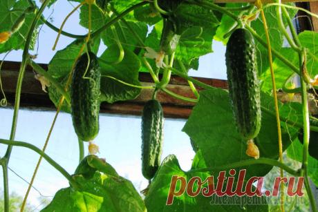 5 частых вопросов о выращивании огурцов