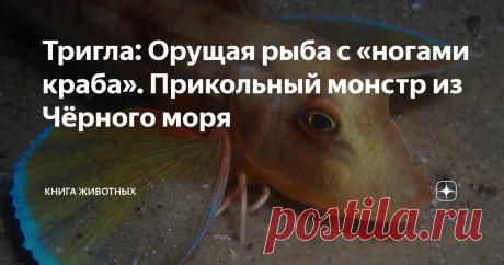 Тригла: Орущая рыба с «ногами краба». Прикольный монстр из Чёрного моря В лотерее жизни морской петух выбил джекпот, которому позавидовала бы Русалочка. В отличие от несчастного сказочного персонажа, он получил и голос, и ноги. При том, что это, вообще-то, рыба.  Официальное название этой чудо-юдо рыбы — тригла. Но обозвав животину петухом, ихтиологи ни разу не прогадали. Посудите сами: яркий наряд есть? Есть. Тонкие ножки имеются? Имеются. Орать по утрам могёт? Могёт. Это...