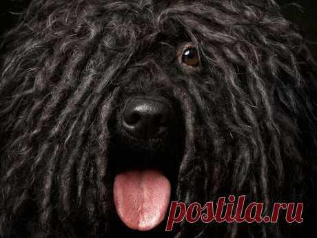 «Пули - Венгерская Водяная Собака» — карточка пользователя Валентина в Яндекс.Коллекциях
