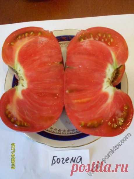 Раннеспелые тепличные томаты устойчивые к заболеваниям
