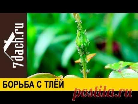 Борьба с тлёй и защита от цветоеда - 7 дач