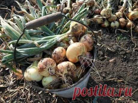 Лучшая подкормка для лука – повышаем урожайность в несколько раз! | 6 соток