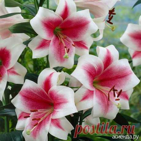 Прикупила лилий! Ну очень красивые!: Группа Клумбы и цветники