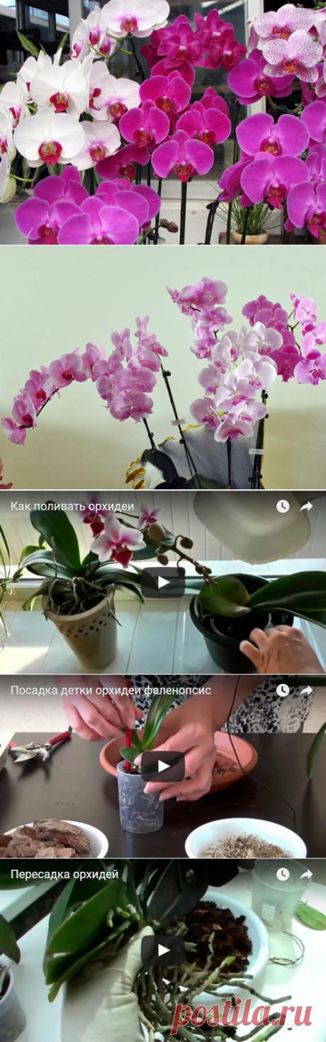 Орхидея фаленопсис – уход в домашних условиях, размножение фаленопсиса и пересадка, фото фаленопсиса