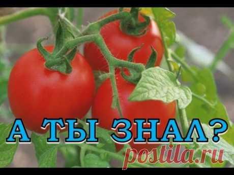 Как вырастить хороший урожай помидоров