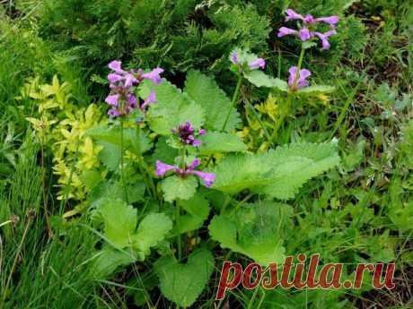 Буквица крупноцветковая (Betonica grandiflora, или Betonica macrantha), ранее чистец крупноцветковый (Stachys grandiflora)