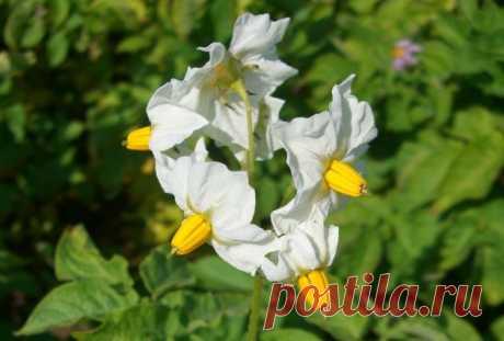 Картофель: удаляем цветки – получаем клубни