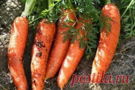 Уже много лет сажаю морковь и осенью, ем свою морковку уже в начале июня. | Дачная страна | Яндекс Дзен