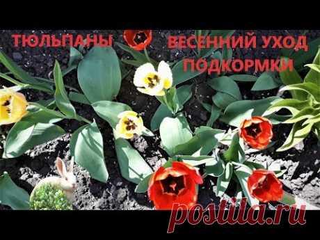 Уход за тюльпанами ранней весной  Важная подкормка не пропустите