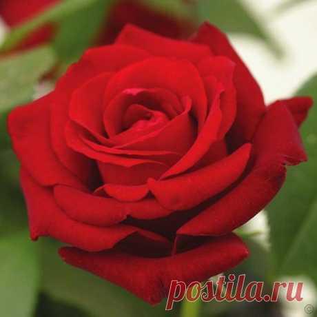 las rosas mas bonitas del mundo - Búsqueda de Google