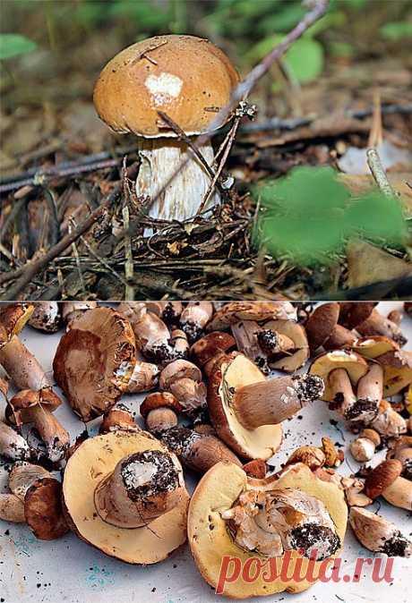 Грибы: как вырастить на участке. Белые грибы и подосиновики можно развести посевом спор. Если грибы приживутся, урожай будет больше, чем при пересадке гриба вместе с деревом.