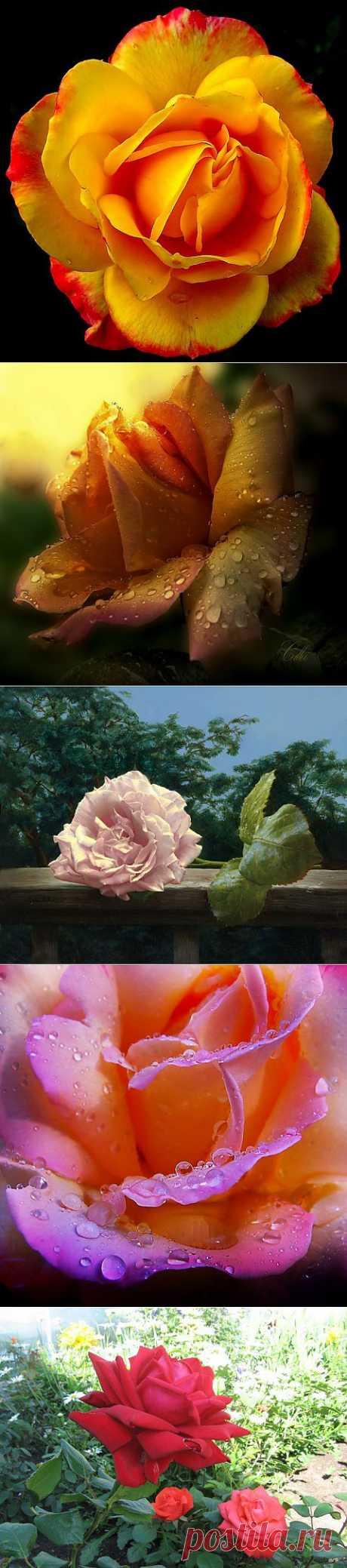 (+1) тема - Розы... | ЛЮБИМЫЕ ФОТО