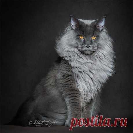 «Благодаря своему рассудительному и мягкому характеру, коты породы мейн легко уживаются с другими животными в доме. » — карточка пользователя tischkina.ox в Яндекс.Коллекциях
