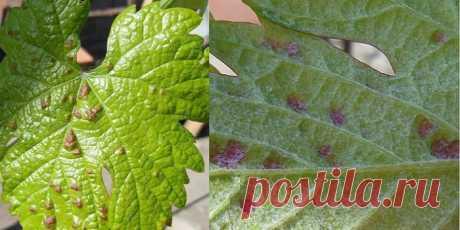 Частой причиной гибели урожая являются вредители винограда. Рассмотрим какие бывают вредители на винограде и методы борьбы с ними.