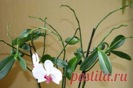 Что делать с отцветшим цветоносом орхидеи? | Записки садовода | Яндекс Дзен