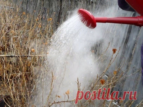 Что нужно сделать для смородины весной, чтобы урожай был хороший? | Огородник.ru | Яндекс Дзен
