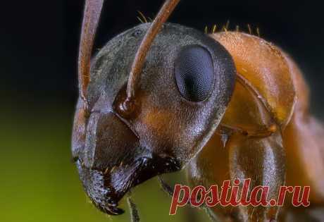 Портрет рыжего муравья-трудяги на снимке Павла Сагайдака: nat-geo.ru/community/user/27069/