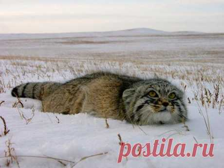 Забайкальский дикий кот  -МАНУЛ!!!Красавец!!! ОЗЕРО БАЙКАЛ