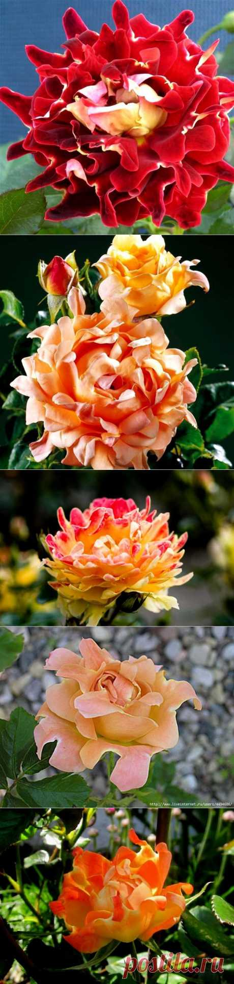 Кружевные розы - удивительное зрелище! .
