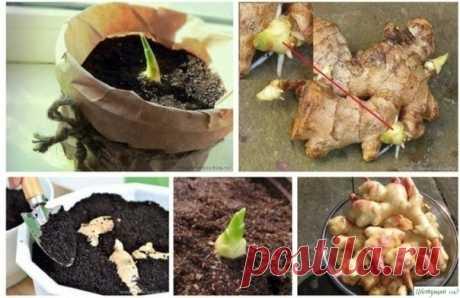 Выращиваем имбирь на подоконнике — Садоводка