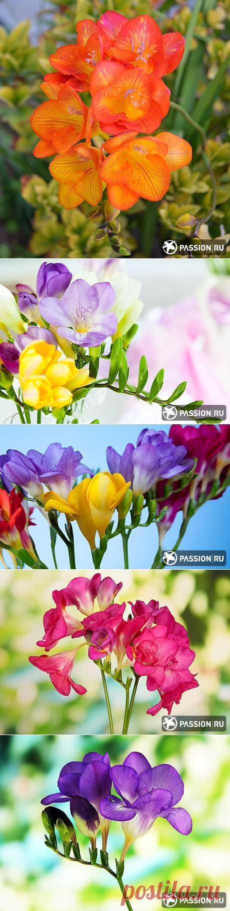 Flower - the Freesia!