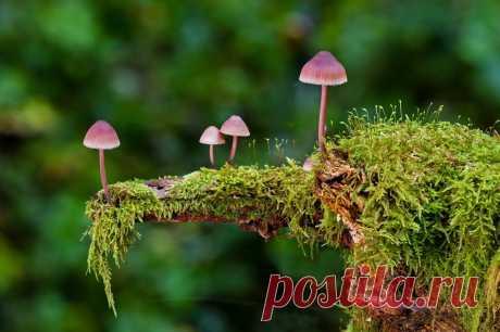 Какие лесные грибы съедобны? Грибы водятся почти везде. Любимые итальянцами грибы porcini (поросятки)— не что иное, как наши боровички, только собранные у подножия Альп или где-то еще на Апеннинском полуострове. В Израиле зимой— самый сезон для моховичков, сам собирал. Чукчи отказываются есть великолепные подосиновики и подберезовики, растущие в тундре возле их стойбищ, они говорят: «Однако [их] олешки едят»,— мол, раз их едят олени, значит, они— не пища для людей.