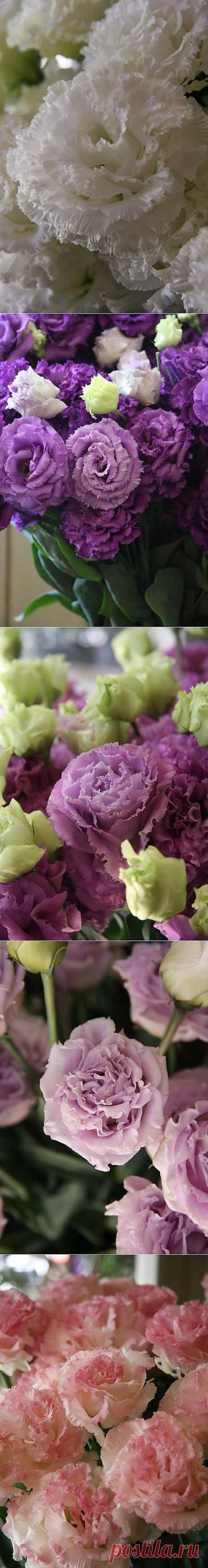 ЭУСТОМА   Home garden|Сад, огород, растения дома