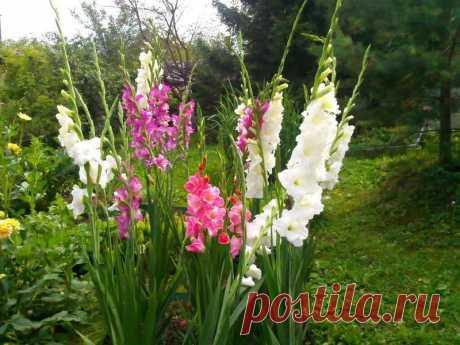 10 важных правил выращивания гладиолусов | 6 соток
