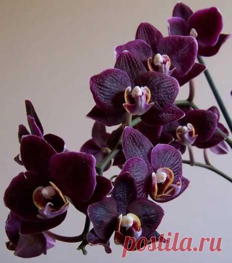 У орхидеи сморщились листья: провоцирующие факторы, способы решения проблемы