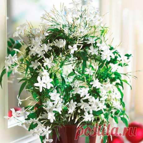 Комнатное растение Жасмин (Jasminum). Жасмин - король всех цветов. Это слово персидского происхождения. Родина растений - Аравия, Индия. Все жасмины - декоративно цветущие растения, выращиваемые как в открытом грунте, так и в комнатной культуре. Ценятся за обильное продолжительное цветение. Наиболее популярны виды и сорта с белыми душистыми цветками. Растениям необходима опора. При правильных условиях выращивания период цветения длится несколько недель с середины зимы до середины весны.