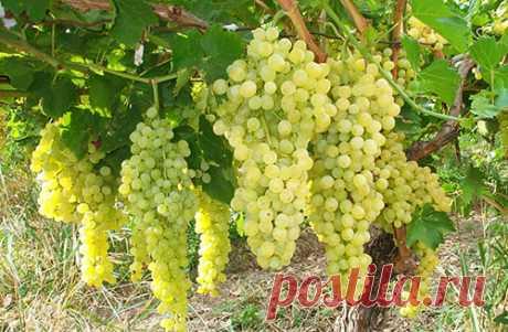 Чем опрыскивать виноград от болезней