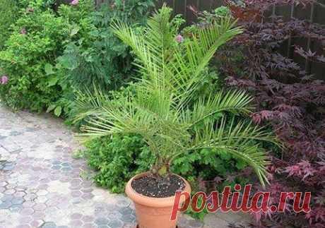 Выращиваем из косточки финиковую пальму .