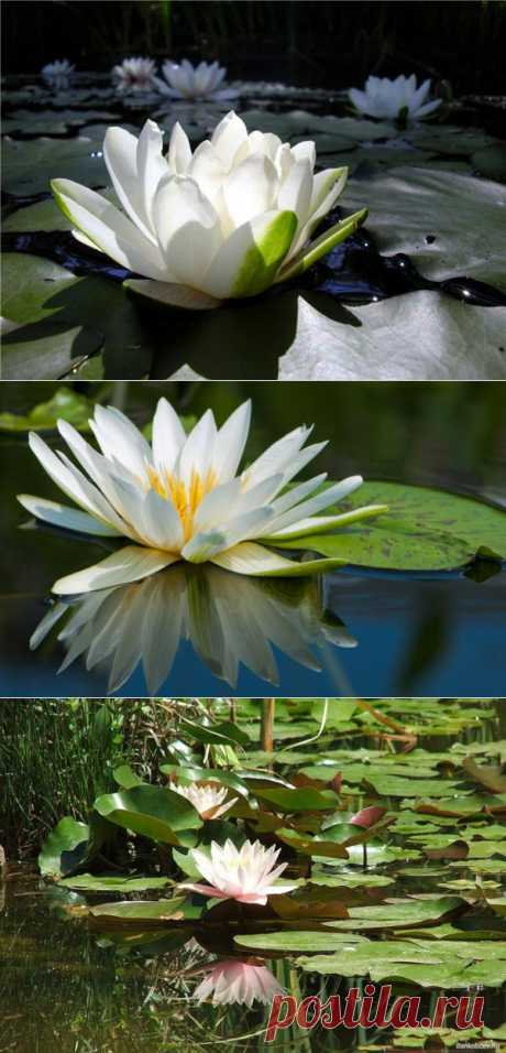 Волшебство белого лотоса.