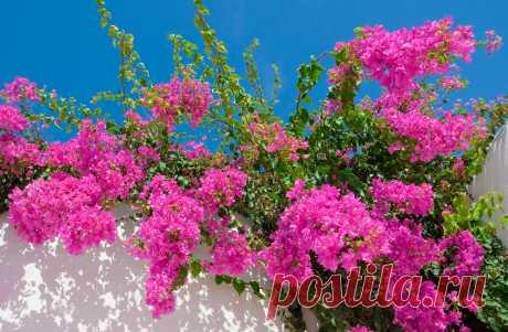 Бугенвиллия: правила ухода за растением - prosad.ru всё про сад и огород Как ухаживать за бугенвиллией в домашних условиях. Как поливать, куда сажать и чем подкармливать для ее обильного цветения.
