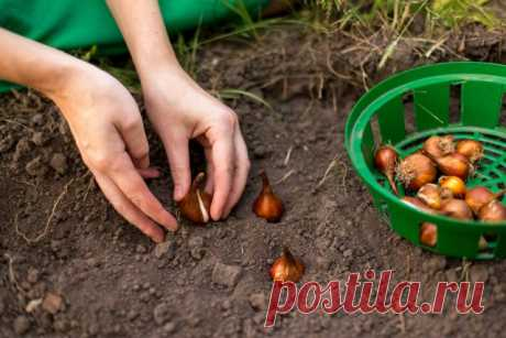 Сроки высадки луковичных (таблица)   Другие луковичные (Огород.ru)