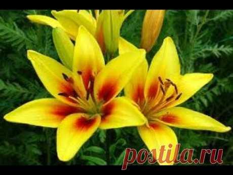 Лилия божественный цветок. Новинка.