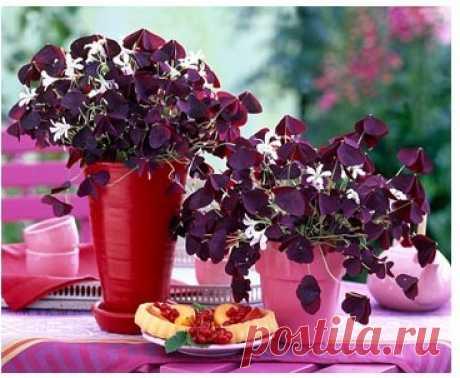 Оксалис (кислица) - описание видов, выращивание и уход в домашних условиях | GreenHome