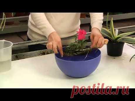 Как поливать орхидеи - YouTube