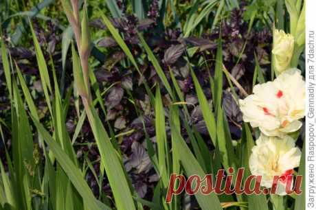 Гладиолусы: болезни и вредители. Профилактика и лечение. Опыт выращивания