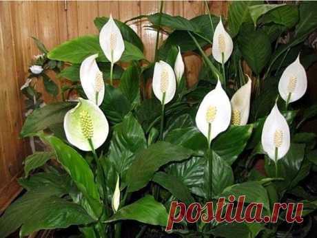 10 ПРИЧИН, ПО КОТОРЫМ НЕ ЦВЕТЕТ СПАТИФИЛЛУМ  1. Горшок для спатифиллума выбирают немного больше предыдущего, слишком большой горшок затормозит цветение. Спатифиллиум цветет, когда корни заполняют весь горшок. То есть, он любит тесные и невысокие горшки.  2. Чтобы способствовать цветению временно уменьшают полив и держат растение в прохладном месте, но при температуре не ниже 16 °C.  3. Перекорм растения азотными удобрениями - провоцирует нарастание зеленой массы, в ущерб ц...
