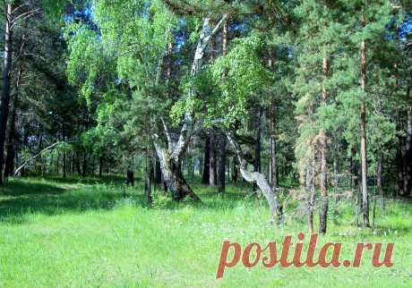 Фото Дятел на березе. Альбом В летнем лесу - 170 фото. Фотографии Александра Мигун.