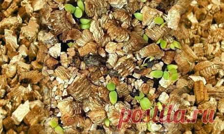 Вермикулит для растений: польза, как применять, плюсы и минусы Вермикулит для растений: польза, как применять, плюсы и минусы Если вы ищете добавку для улучшения качества почвы или даже полной ее замены, то вермикулит является подходящим вариантом. Он используется в почвенных Если вы ищете добавку для улучшения качества почвы или даже полной ее замены, то вермикулит является подходящим вариантом. Он используется в почвенных смесях, а также для улучшения прорастания семян и...